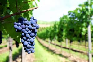 fruijolie-grappe